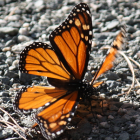 Thumbnail image for Pismo Beach … Monarch Butterfly