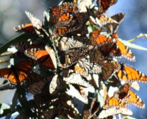 158a 300x243 Pismo Beach ... Monarch Butterfly