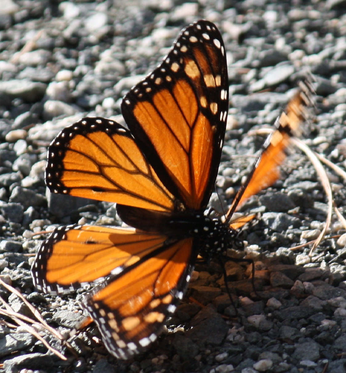 Where Have All Monarchs Gone >> Pismo Beach … Monarch Butterfly