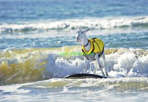 Pismo Beach Goats 300x208 Pismo Beach Goats