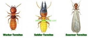 termite 300x130 Termite ... from a Realtors prospective